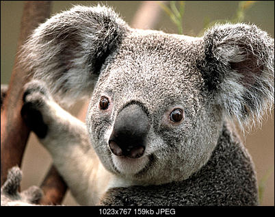 -koala.jpg